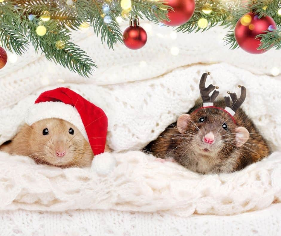 two hamsters under Christmas blanket with costumes on